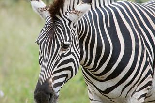 Zebra close-up | by Mister-E