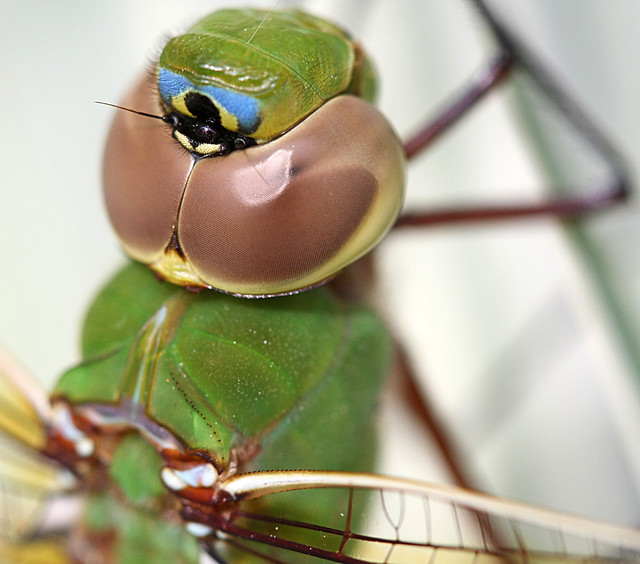 Dragonfly: Common Green Darner, Anax junius