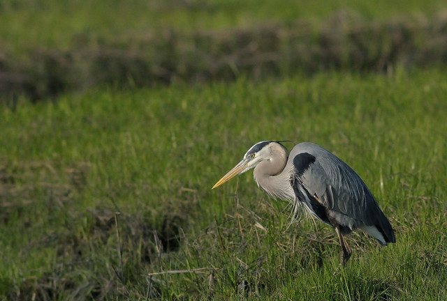 Great Blue Heron Contemplating His Next Move