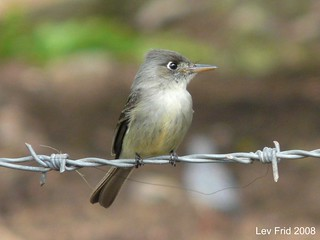 Cuban Pewee | by Lev Frid