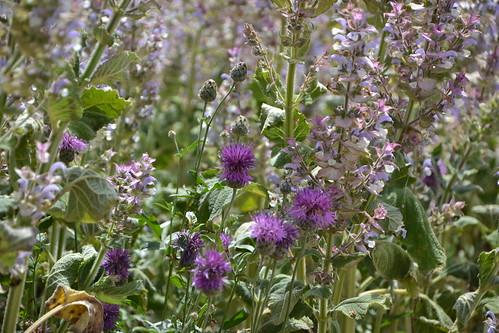 Salvia sclarea - sauge sclarée 32107629603_a3708fc549