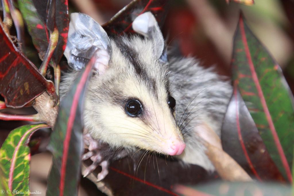Série com um filhote de Gambá-de-orelha-branca, Saruê (Didelphis albiventris) - Series with the white-eared opossum - 13-05-2009 - IMG_9072