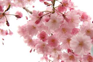 sakura blossoms up close   by kozyndan