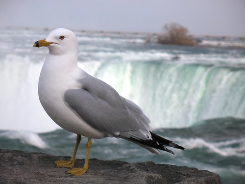 Seagull on the falls | by sfllaw