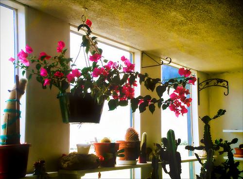 pink flowers wallpaper cactus plant cacti landscape warm tan greenhouse bloom succulents blooming blogrodent richtatum