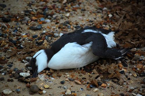 Dead Bird @ Horsey Gap, Norfolk