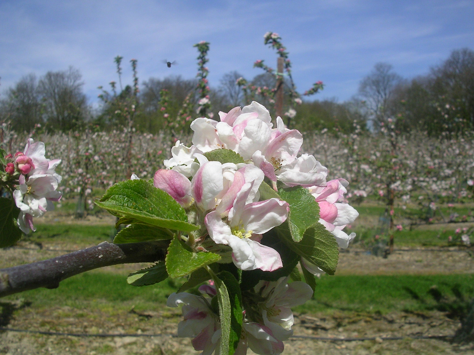 apple orchard Yalding to Sevenoaks