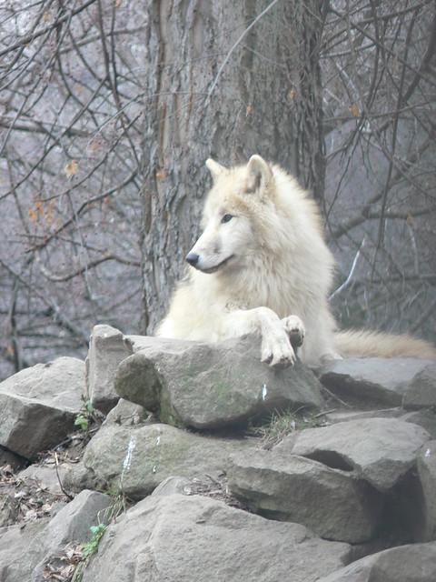 Tundrafarkas / Arctic tundra wolf