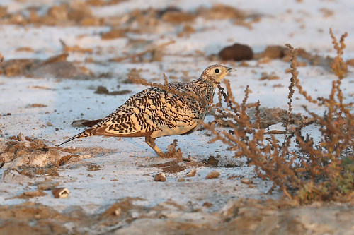 Chestnut-bellied Sandgrouse ♀ Pterocles exustus | by Roger Wasley