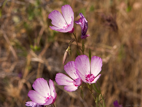 flowers californiawildflowers