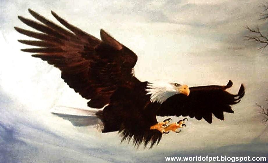 Bald Eagle Wallpaper Potrait The Plumage Of The Immature I
