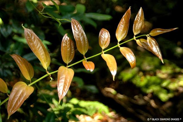 Ripogonum discolor - Prickly Supplejack