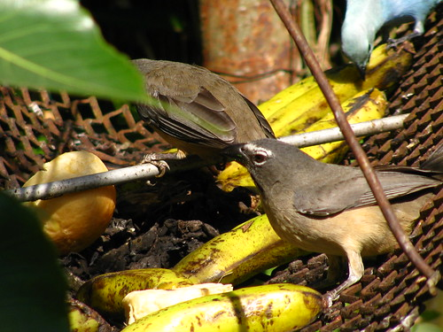Greyish Saltators [saltator coerulescens] eating fruit (3) | by TaranRampersad