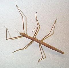 Stick Bug | by mattrixDOTinfo