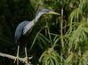 Pied Heron (Ardea picata) by rogersmithpix