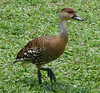 West Indian Whistling-Duck by Toxostoma