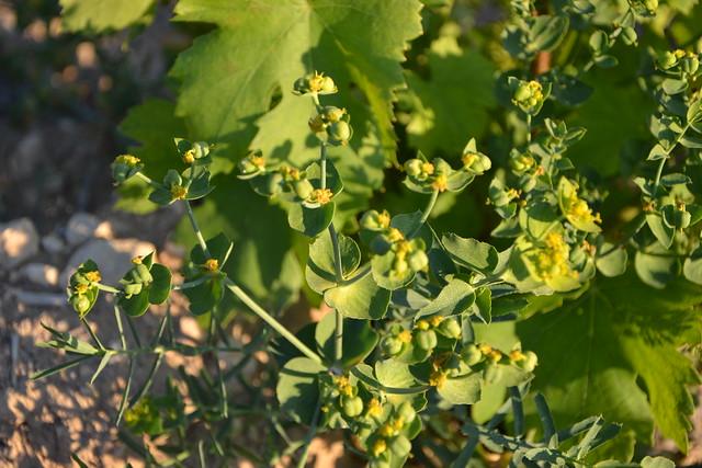 Euphorbia serrata - euphorbe à feuilles en scie 32777274171_3c043462a0_z