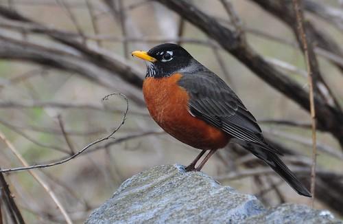 Robin   by Joe Cosentino
