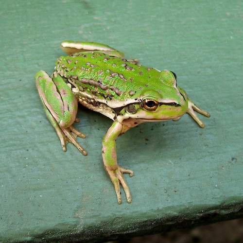 warty swamp frog (Litoria raniformis)   by dcysurfer / Dave Young