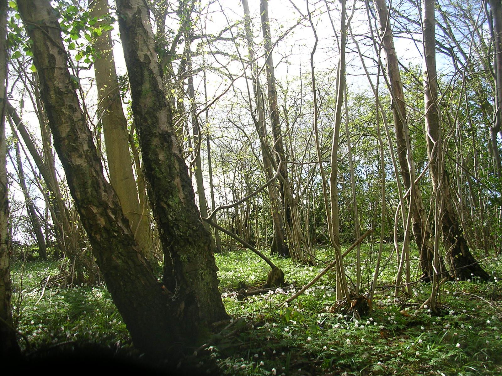 Anenome wood Robertsbridge to Battle