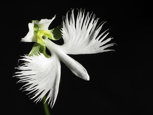 Habenaria radiata (White Egret Orchid) | Can't believe I man… | Flickr