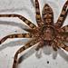 Image: Huntsman Spider