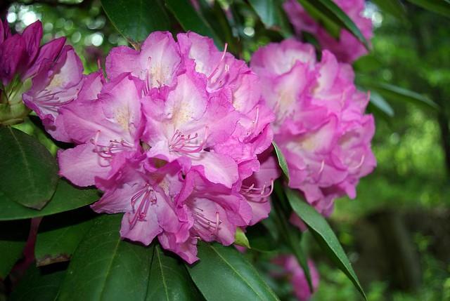 Rhododendron, Angel Falls, Big South Fork, Scott Co, TN