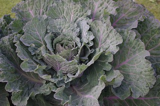savoy cabbage | by janekelly-gildingthelily