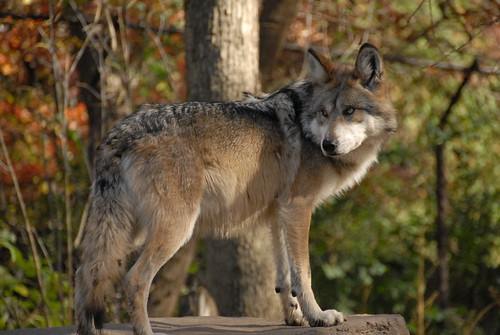 Mexican Wolf (Canis lupus baileyi) | by guppiecat