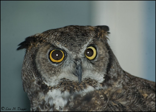 Great Horned Owl close-up @ the Houston Zoo | by Saveena (AKA LHDugger)