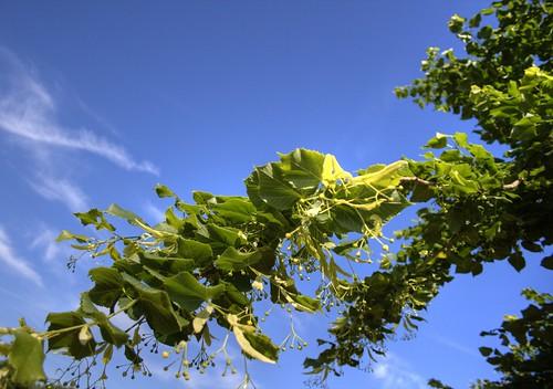 blue france skye green eos branches lot vert bleu ciel printemps hdr cahors vegetal jeunes quercy tilia midipyrénées 400d cyrilbkl departementdulot montilleul