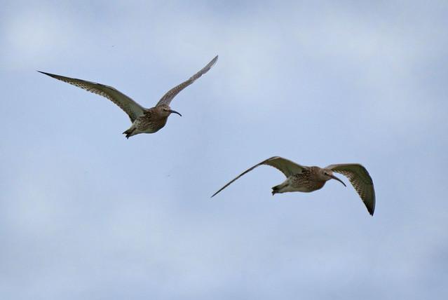 Curlew in flight, Marshside RPSB, August 2009