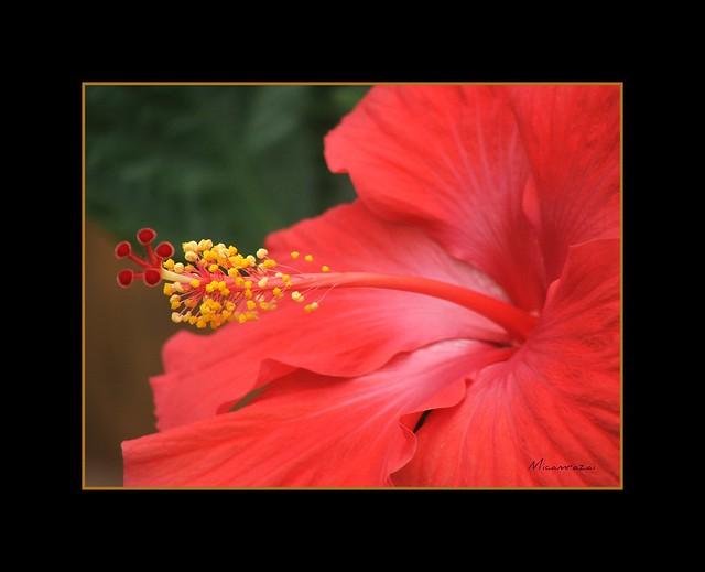 Brilliant Red Hibiscus