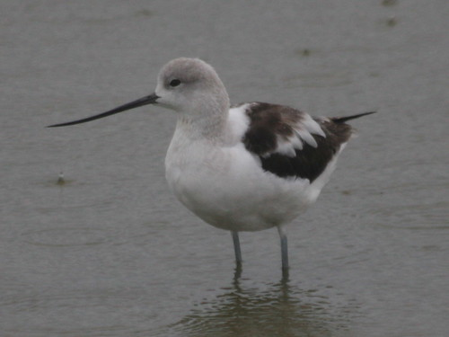 American Avocet in the rain-IMG_3305-Alviso-DENWR-crop | by gimlack