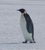 Emperor Penguin by RecapWhenNotInUse