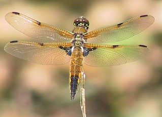 Four-spotted Skimmer | by brewsterslinnet