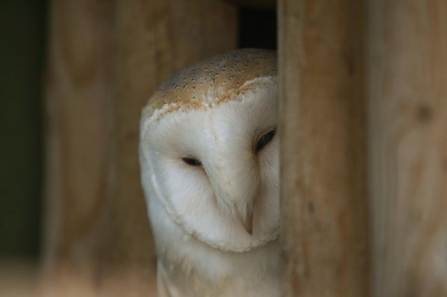 Barn owl shown on the BBC2 Springwatch Programme 9th June 2009