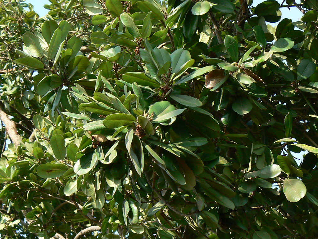 Khirni Hindi खरन Sapotaceae Sapota Family Manilka