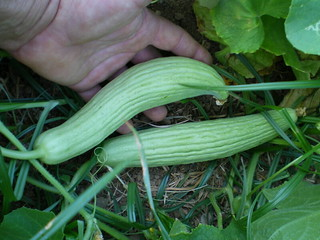 Yes, this is a cucumber. Our organic garden, Crete, Greece