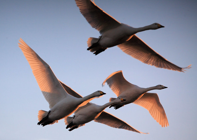 Whooper Swans at Welney