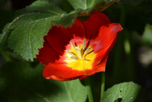 Tulipa - espèces et petits hybrides (sections 12 à 15) 32928226551_2a09f51145