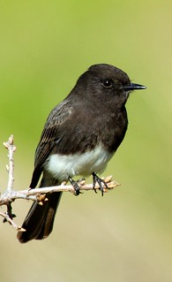 Black Phoebe | by birding4ever