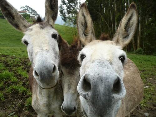 Tres burros por el precio de uno | by Jozelui