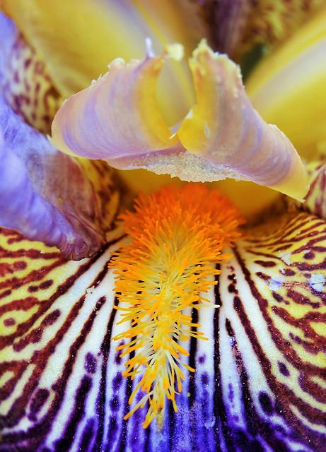 Iris des jardins ou iris germanicum
