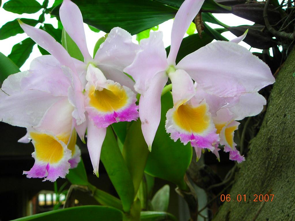 Orquidea da Amazônia
