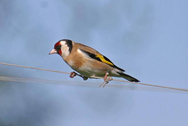 196099-IMG_4778 European Goldfinch (Carduelis carduelis)