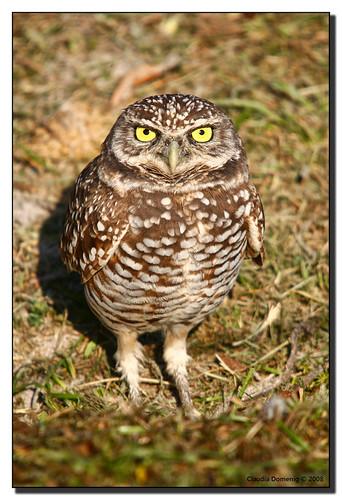 bird florida bigma pointofview owl handheld avian yelloweyes athenecunicularia burrowingowl naturesfinest coopercity sigma50500mmf463exapo specanimal abigfave brianpiccolopark avianexcellence diamondclassphotographer flickrdiamond browardco goldenpalmaward artedellafoto