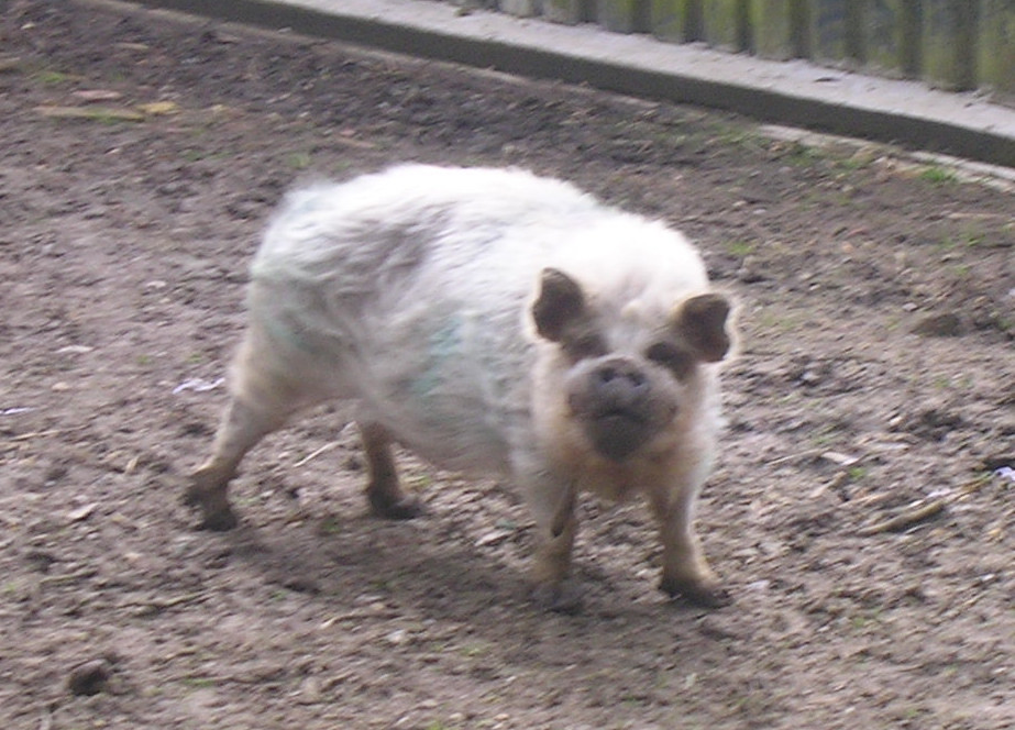 Scruffy pig Nearest thing to a donkey we saw at Lockwood Donkey Sanctuary, (which wasn't open). Is the group looking for a mascot? Witney to Haslemere