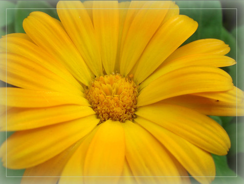 Yellow Calendula