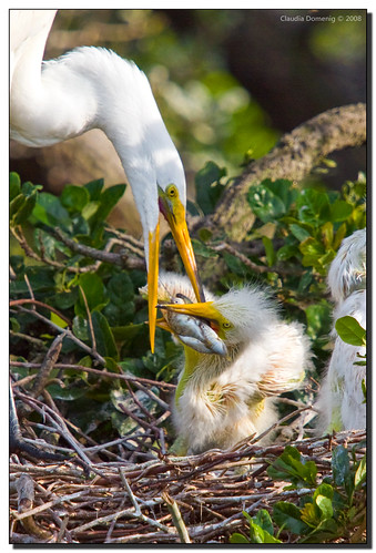 fish nature birds breakfast mom bravo raw florida wildlife chicks egret soe rookery greatwhiteegret ardeaalba naturesfinest saintaugustine blueribbonwinner alligatorfarm adobelightroom shieldofexcellence anawesomeshot impressedbeauty avianexcellence canonef70200f4lisusm stjohnsco onephotoweeklycontest naturethroughthelens thegreatshooter canonef14xtx